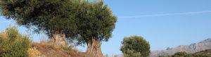 bannière Le Comptoir de l'olivier