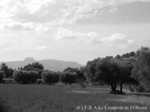 photo noir et blanc de l'oliveraie du Comptoir de l'olivier à Gémenos en Provence