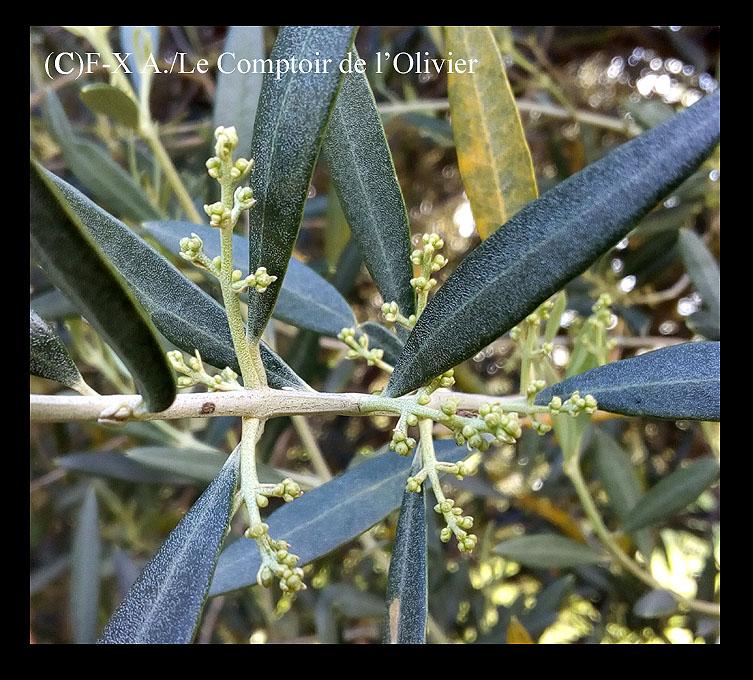 photo d'un rameau d'olivier portant de nouveaux bourgeons au printemps. Oliveraie du Comptoir de l'Olivier à Gémenos en Provence.