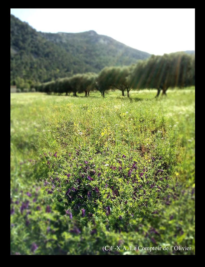 photo de l'oliveraie du Comptoir de l'Olivier à Gémenos en Provence durant le printemps.