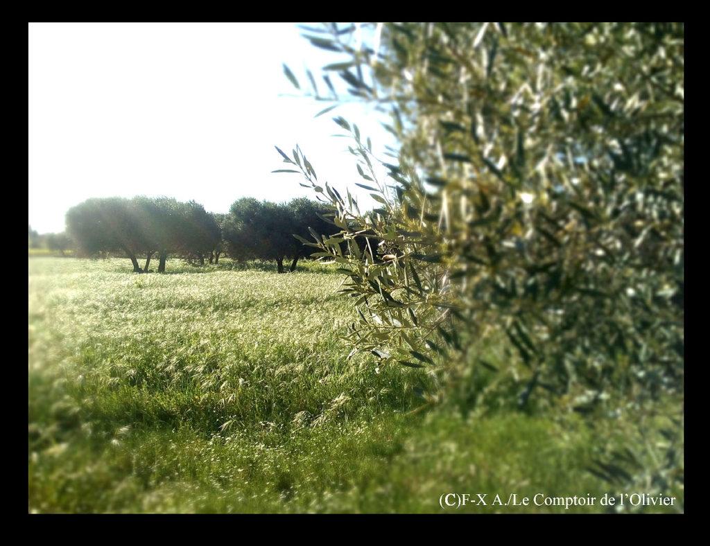 photo d'oliviers à Gémenos en Provence durant le printemps. Oliveraie du Comptoir de l'Olivier en Provence.