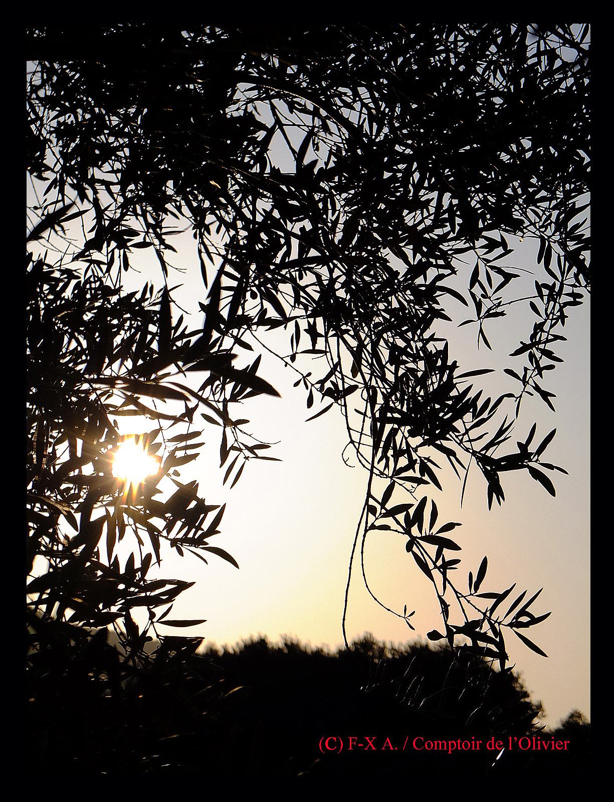 Le soleil finit de se coucher en contre-jour à travers les rameaux d'oliviers de l'oliveraie de Gémenos.