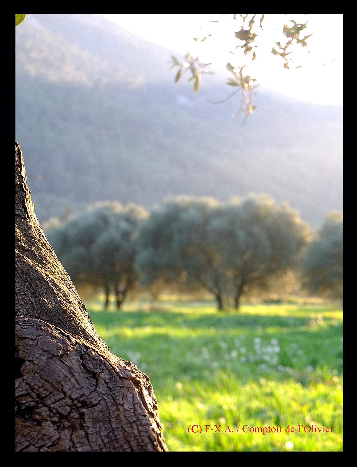 Dans la lumière irisante du couchant, l'oliveraie de Gémenos du Comptoir de l'Olivier.