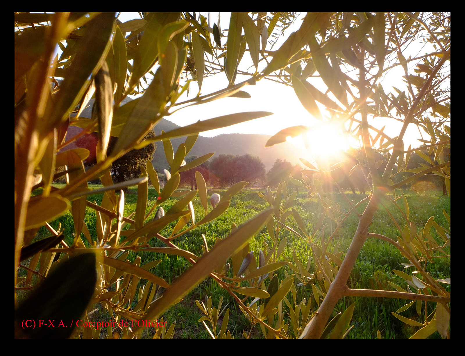 photo du soleil qui se couche à travers les rameaux d'olivier de l'oliveraie de Gémenos de Comptoir de l'Olivier.