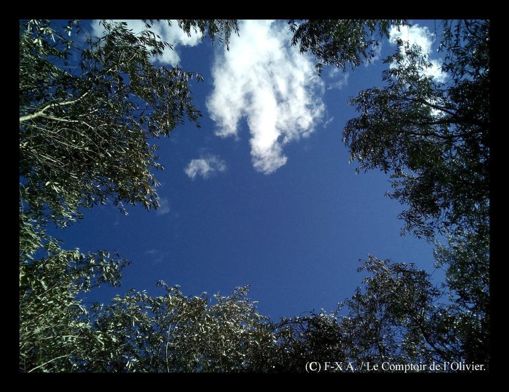 photo du ciel de Provence à midi vu de l'intérieur d'un olivier de l'oliveraie du Comptoir de l'Olivier (www.comptoirdelolivier.com) fraîchement taillé. Huile d'olive de Provence à Gémenos.