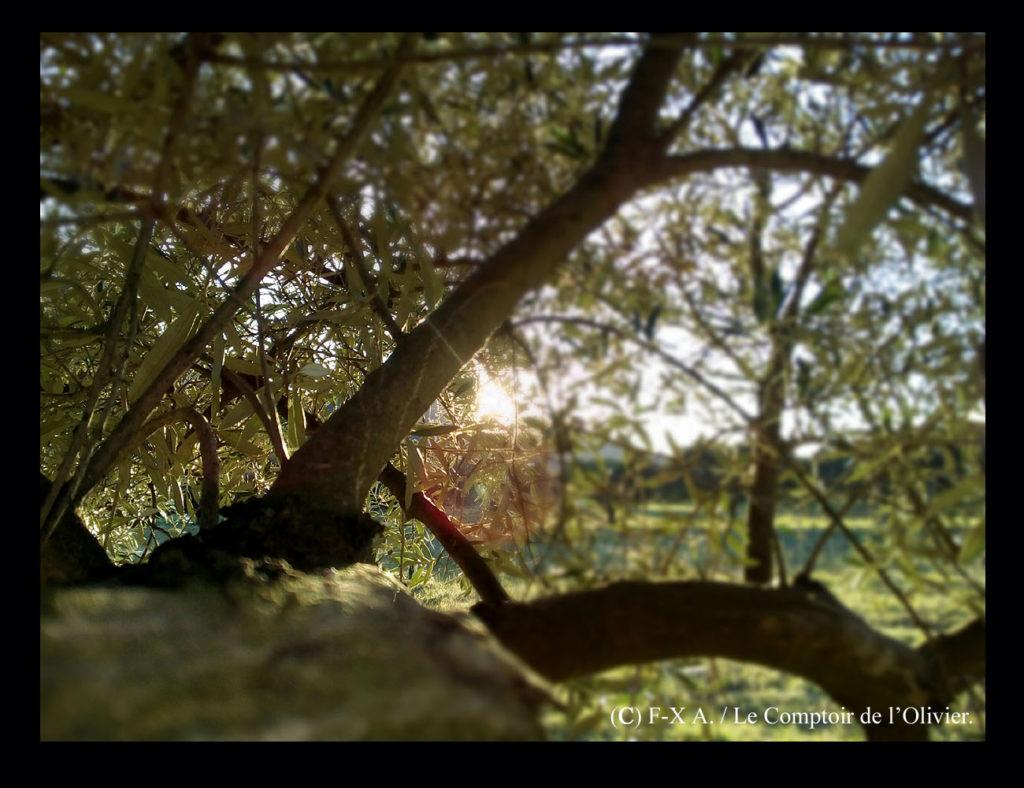 photo d'un olivier de l'oliveraie du Comptoir de l'Olivier (www.comptoirdelolivier.com) dans la lumière rasante du mois de mars à Gémenos en Provence.