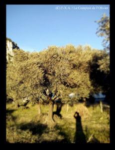 photo d'un olivier de l'oliveraie du Comptoir de l'Olivier (www.comptoirdelolivier.com) fraîchement taillé pour produire en bio et avec Amour de l'huile d'olive de Provence à Gémenos.
