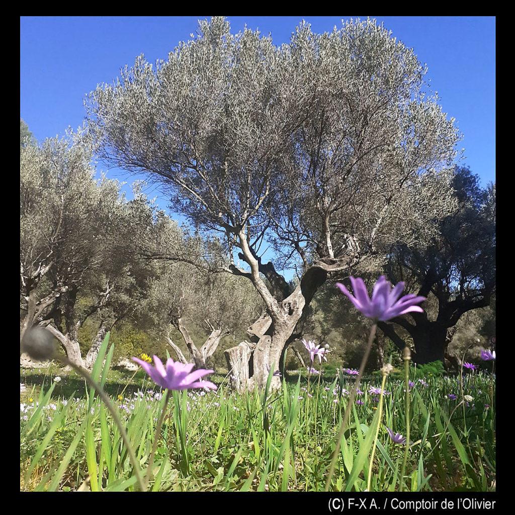 Le printemps dans l'oliveraie.