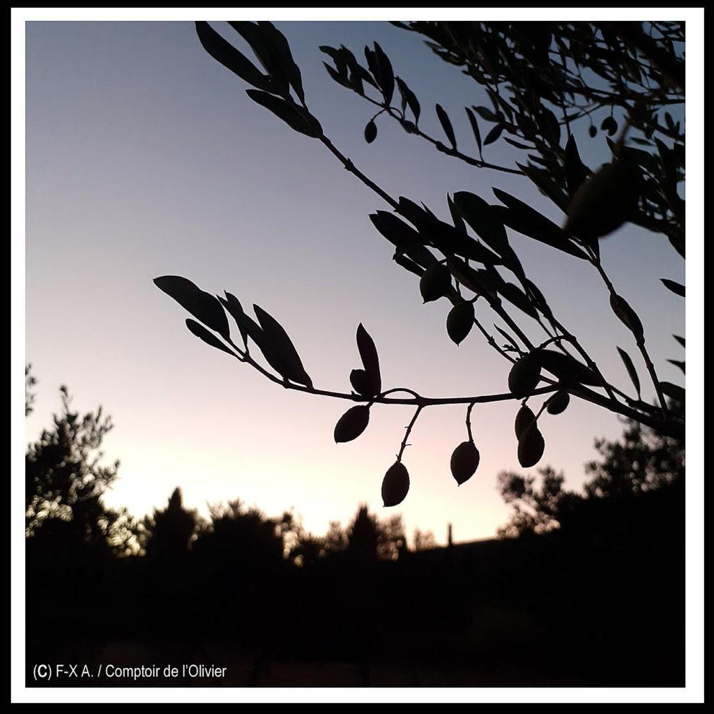 Nuit d'été dans l'oliverai du Comptoir de l'Olivier