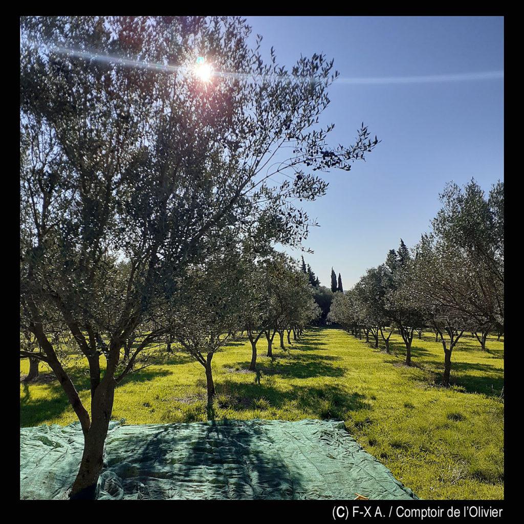 Récolte dans l'oliveraie. Comptoir de l'Olivier, La Valette du Var.