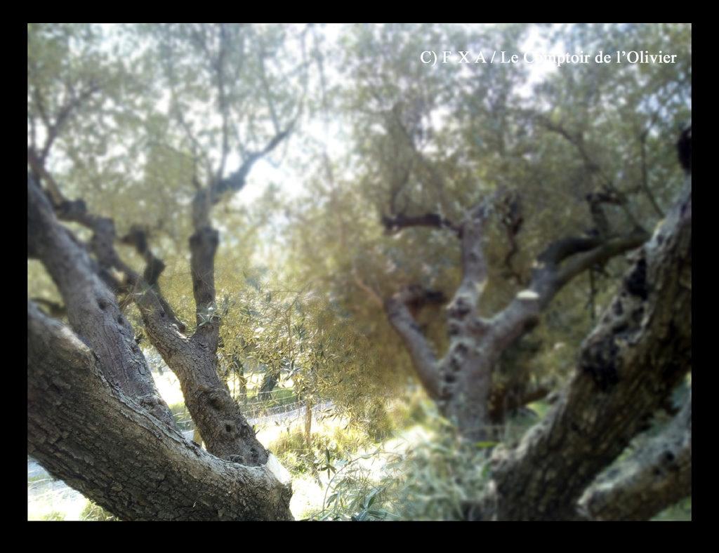 photo illustrant que l'heure de la taille a commencé dans l'oliveraie du Comptoir de l'Olivier à Gémenos en Provence. (C) F-X A / Le Comptoir de l'Olivier.